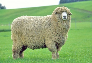 new-zealand-sheep.jpg